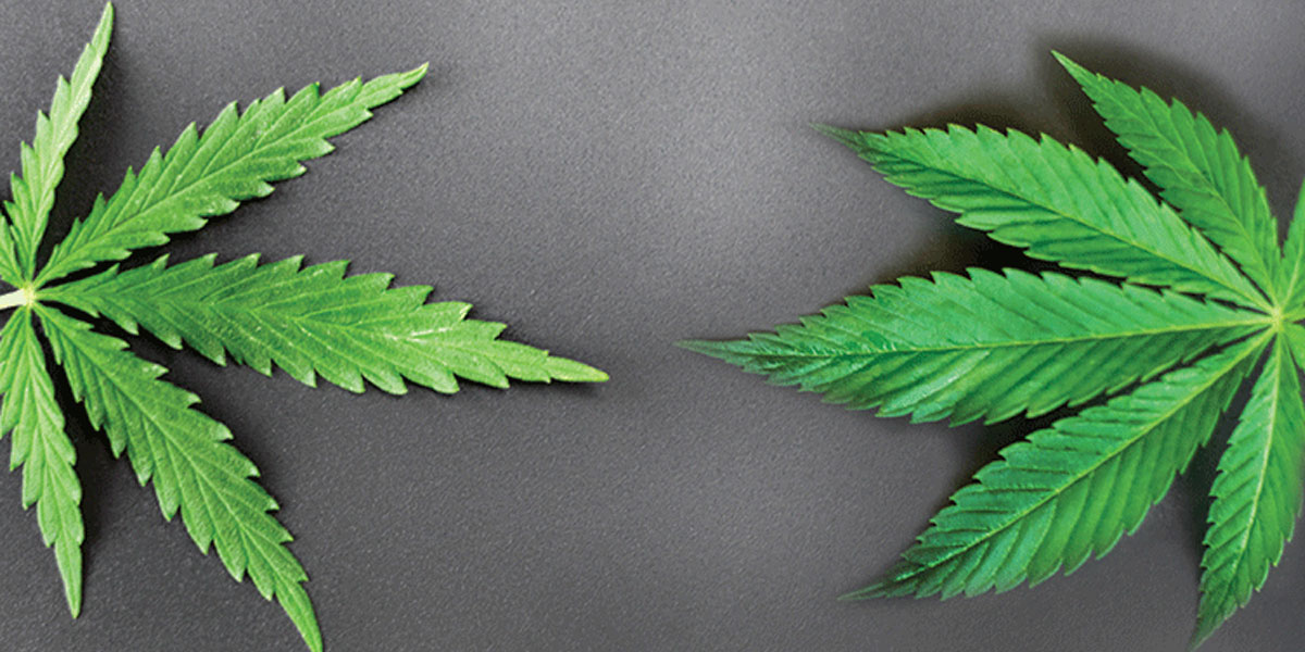 Are Indicas and Sativas the Same Species?